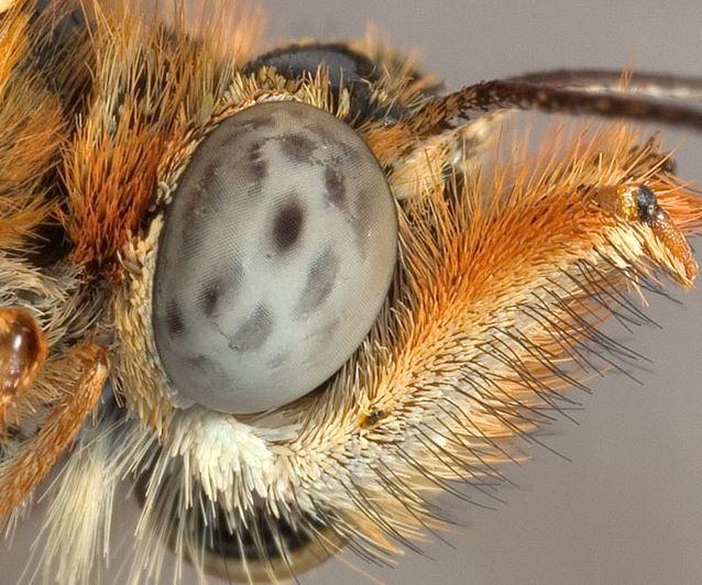 Polarize Işığı Görebilen Kelebekler