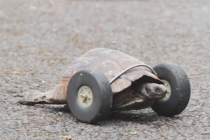 Kaplumbağaya Hayat Veren Tekerlekler